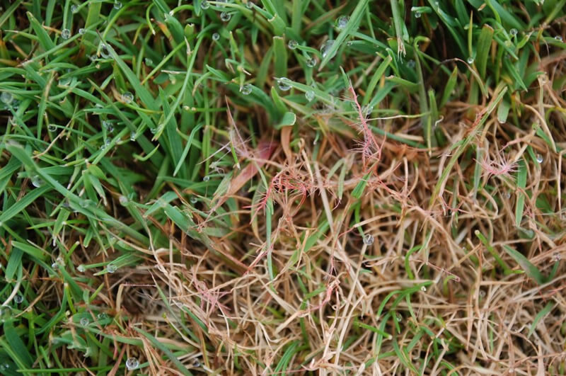 Lawn Diseases and Fungal Attacks