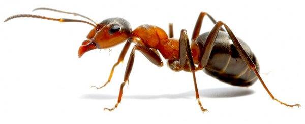 Lawn Ants