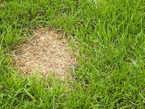 Lawn Pet Damage